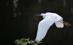 Snowy Egret in Flight (sonstroem) Tags: snowy egret egrettathula bird birdwatching calaverasriver california stockton nature wildlife