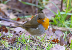 Robin (marra121) Tags: nuthatch long tailed tit great blue siskin red squirrel whitehaven cumbria silver meadow wood birds
