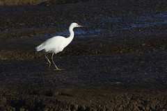 K32P9689c Little Egret, RSPB Titchwell, November 2018 (bobchappell55) Tags: titchwell norfolk wild bird wildlife nature littleegret egrettagarzetta