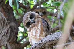Southern Boobook (Ninox novaeseelandiae) (johnedmond) Tags: perth shentonpark westernaustralia boobook owl bird natur wild canon eos7d 7dmkii 100400mm ef100400mmf4556lisiiusm