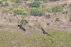 White-backed Vultures (Roy Lowry) Tags: whitebackedvulture ubizane gypsafricanus