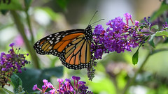 Monarch Butterfly (PMillera4) Tags: monarchbutterfly butterfly