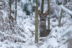 Roe in the snow (fire111) Tags: roe ree sneeuw bos forrest snow nature photography mamal deer watching wildlife