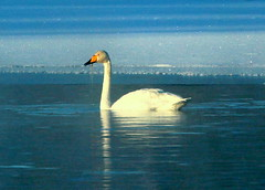 The lonely swan. (irio.jyske) Tags: animalphotograph animalphotographer animal birdphotograph birds birdphotographer birdphoto bird birdpics swan winter frost ice snow openwater landscape landscapephotograph lanscape landscapepic landscapes landscapephotographer landscapephotos lake lakescape landscapepics naturephoto naturephotograph naturepictures naturepic naturescape nature naturepics naturephotographer naturephotos natural photographer photograph photos pic beautiful beauty alone