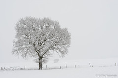 Blizzard (gillesfrancotte) Tags: 2019 awan aywaille belgium january outdoor piromboeuf campagne countryside extérieur field grass grassland landscape landschap meadow nature neige outside paysage plaine rural snow tree white winter highkey