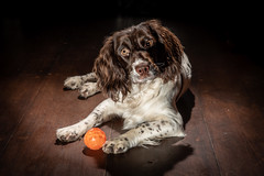 Raz with one of his many toys ! (TrevKerr) Tags: dog dogportrait puppy pup spaniel springerspaniel nikon d750 nikon2470f28 nikonsb900 yongnuoyn622n yongnuoyn685