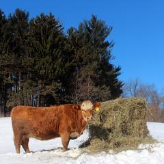 Tina this morning (LauraWentz) Tags: tina cow beef winter snow sunshine morning blueskies roundbale hay