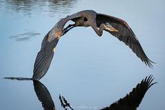 Winging It (DonMiller_ToGo) Tags: animals greatblueheron wildlife rookery onawalk nature bif birds outdoors birdwatching venicerookery d810 birdsinflight florida