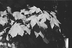 Leaves (Matthew Paul Argall) Tags: beirettevsn manualfocus 35mmfilm blackandwhite blackandwhitefilm kentmere100 100isofilm leaves leaf