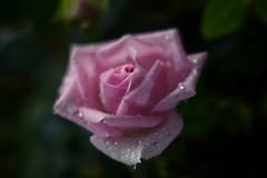 Pink Rose      Benoît Berthiot NEO CINESTAR 2   F=110  F / 2.3 (情事針寸II) Tags: stilllife ピンク クローズアップ 自然 花 薔薇 bokeh projectionlens closeup pink nature fleur flower rose benoîtberthiotneocinestar2f110f23