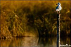 2R3A5270-1 (Sir George R. F. Edwards) Tags: canon 7dmarkii bird landscape panorama overview lake massaciuccoli germano reale duck cormorano sunset wildlife gabbiano seagull tuscany