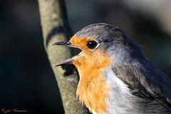 Rouge-gorge familier Robin (Ezzo33) Tags: rougegorgefamilier robin france gironde nouvelleaquitaine bordeaux ezzo33 nammour ezzat sony rx10m3 parc jardin oiseau oiseaux bird birds specanimal