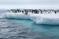 IMG_3689 (y.awanohara) Tags: adelie adeliepenguins penguins antarctica antarcticpeninsula wildlife january2019 icebergs ice icefloes