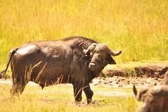 African buffalo #1, Syncerus caffer (viliris) Tags: synceruscaffer buffalo africa safari savannah masaimaranationalreservekenya masaimaranationalparkkenya kenya wildlife wildanimals