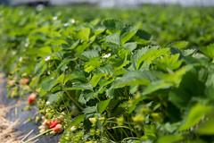 Cesena Fragole (Salvi Filiera) Tags: salvi salvivivai foto frutto cesena fragole