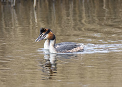 synchronised swimming (alderson.yvonne) Tags: gcg grreat crested grebe swimming lake spring