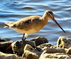 Godwit (olwynam1) Tags: bird godwit martinmere waterbird nature wildlife rocks water