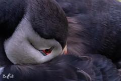 Sleepy puffin (Sumburgh, Shetland) (Renate van den Boom) Tags: 05mei 2018 europa grootbrittannië jaar maand mainland papegaaiduiker renatevandenboom shetland vogels