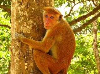 Toque Macaque - Sri Lanka