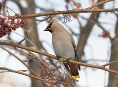 Bohemian waxwing (edhendricks27) Tags: waxwing wildlife animal nature