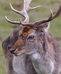 Fallow Deer (dainesefreak) Tags: deer sony sonya7iii tarmron150600 animal wildlife nature