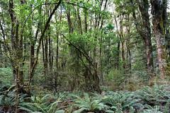 20190209-22-Podocarp forest (Roger T Wong) Tags: 2019 makarora nz newzealand rogertwong sel24105g sony24105 sonya7iii sonyalpha7iii sonyfe24105mmf4goss sonyilce7m3 southisland