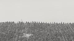 Land zum Leben (IIIfbIII) Tags: winter mais canon landwirtschaft landscapephotography landschaft landscape feld nature naturschutz bw schwarzweiss blackandwhite