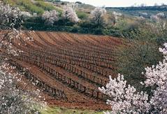 Esta tierra es Aragón: almendros, viñedos, olivos... (marisabosqued) Tags: almendros almondtrees viñedos vineyards olivos olivetrees zaragoza aragón españa spain tamron90mmf28 snapseed