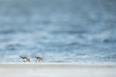 Two birds on the beach.(unknown) (look to see) Tags: birds vogels beach wilsonspromontory victiria australia yanakie 2019