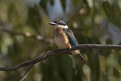 Sacred Kingfisher young (Luke6876) Tags: sacredkingfisher kingfisher bird animal wildlife australianwildlife
