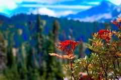 DSC05331_wildRedFlower-1 (FanzFlames) Tags: wild flower mt rainier national park