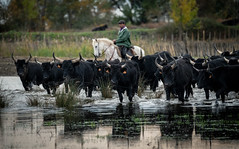 Herd in the Water (MrBlackSun) Tags: black bull camargue nikon d850 provence france southfrance