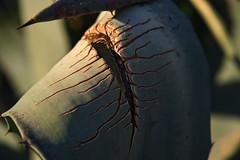 Perfect imperfection (jeyd93) Tags: affinityphoto sony24105f4 sonya7iii cracks wounded plant aloevera aloe vera