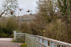 IMG_0313325 (Ashley Middleton Photography) Tags: coatewatercountrypark swindon animal bird canadagoose england europe goosegeese unitedkingdom wiltshire