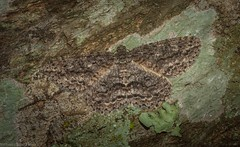 Ectropis fractaria (dustaway) Tags: arthropoda insecta australianwildlife natur nature mounttamborine tamborinemountain sequeensland queensland australia australianinsects lepidoptera geometridae ennominae ectropisfractaria ringedbarkmoth geometermoth geometridmoth australianmoths