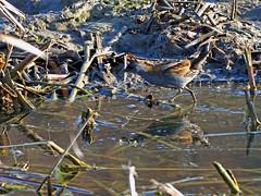 Polluela bastarda (Porzana parva) (6) (eb3alfmiguel) Tags: aves acuaticas gruiformes rallidae polluela bastarda porzana parva