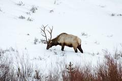 _DW63907.jpg (Upstate Dave) Tags: 2018 blacktailplateau majorplaces mammals geographicname yellowstone yellowstonenationalpark places elk