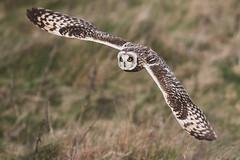 D85_7405 (WildKernow) Tags: see shortearedowl cornwall newquay uk owl