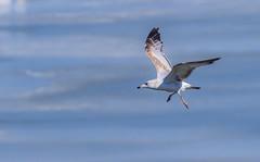 Ring Billed Gull (explored 03/22/2019) (Lynn Tweedie) Tags: tail smithvillelake water beak 7dmarkii feathers ringbilledgull ice sigma150600mmf563dgoshsm wing missouri bird canon eos ngc animal