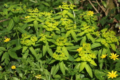Euphorbia hyberna / Euphorbe d'Irlande