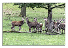 Chatsworth House, Deer's Stag on watch, with a little help. (johnhjic) Tags: johnhjic ears eyes dear dears stag lady ladies grass tree trees chatsworth house branch fawn deer