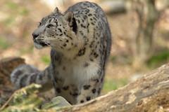 Snow Leopard (jopaz53) Tags: 300f4isl zoo animal leopard