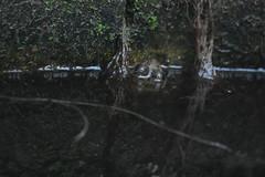 Granota dins del pou (esta_ahi) Tags: lagranada granota rana pelophylax perezi pelophylaxperezi ranidae anura amphibia fauna acuática pou pozo santafe poucomú poudelhorta poumajor poudelsmoros penedès barcelona spain españa испания