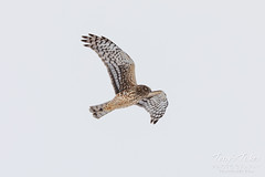 March 3, 2019 - A northern harrier on the hunt. (Tony's Takes)