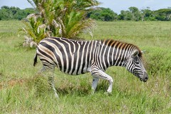 Burchell's Zebra (Equus quagga burchellii) (berniedup) Tags: isimangaliso burchellszebra equusquaggaburchellii zebra taxonomy:trinomial=equusquaggaburchellii equusquagga taxonomy:binomial=equusquagga