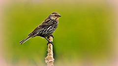 Red-Winged Blackbird (f) (Bob's Digital Eye 2) Tags: back30 bobsdigitaleye canon canonefs55250mmf456isstm depthoffield flicker flickr nature outside redwingedblackbird t3i wildbird bobsdigitaleye2 bokeh fauna