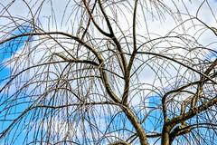 Weeping Katsura (pmorris73) Tags: arboretum pennstateuniversity statecollege pennsylvania 1cc1019 2cc1019 3cc1019 4cc1019 5cc1119 6cc1519 7cc1919