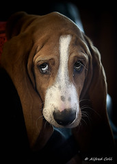 Hound Dog (Alfredo Rafael) Tags: hounds eyes sad 50mmprime dogs dogdays