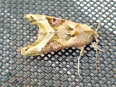 Angel shades moth (ste dee) Tags: moth creature animal nature outdoors phonepic cellphone huawei angelshadesmoth