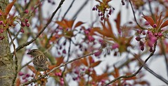 watch you back (Bushcraft.Eure) Tags: wood tree wildlife pelouse oiseau eure normandie valleedeleure normandy green oss nature sony sonya6000 sonye epz18105mmf4goss 18105mm animal oiseaux bird prunus serrulata cerisier du japon prunusserrulata cerisierdujapon sakura pink chickadee printemps spring passer domesticus passerdomesticus moineau domestique moineaudomestique sparrow sel18105g ilce6000